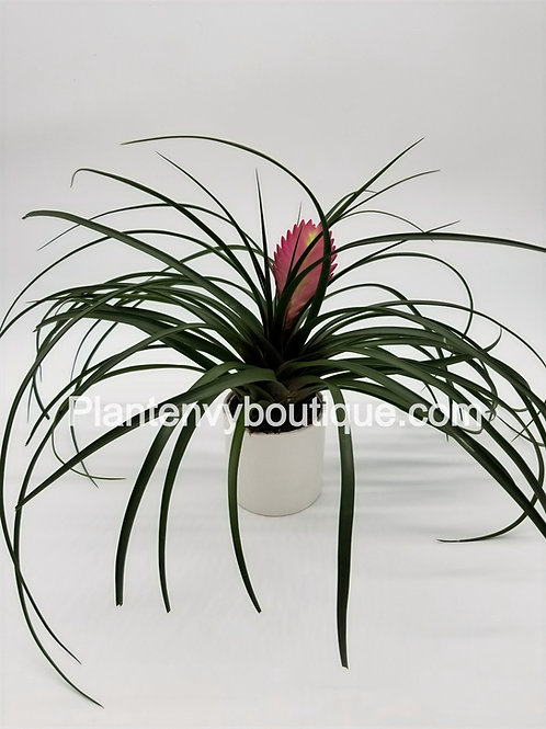 """4"""" Bromeliad Pink Quill"""