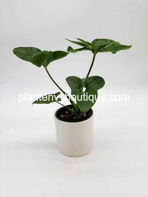 """4"""" Philodendron Fun Bun"""