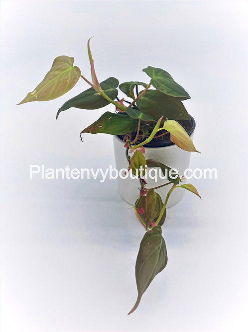 """4"""" Philodendron Micans"""