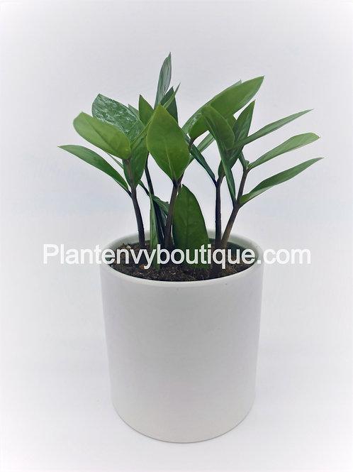 """4"""" ZZ Plant ( Zamioculas Zamiifolia)"""
