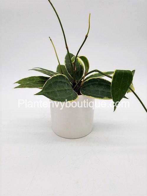 """4"""" Hoya Macrophylla"""