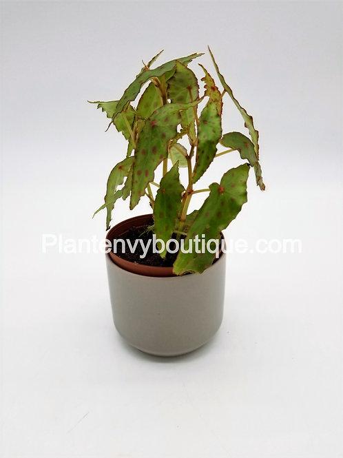 "3"" Begonia Amphioxus"
