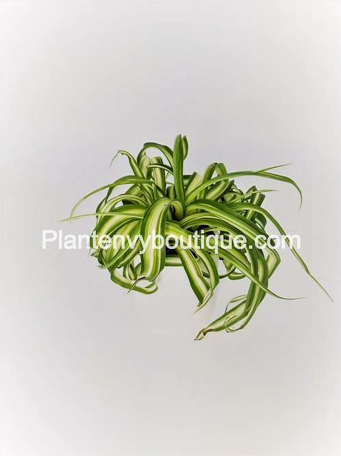 """4"""" Bonnie Curly Spider Plant"""