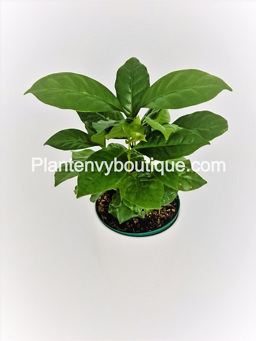 "4"" Arabica Coffee Plant"