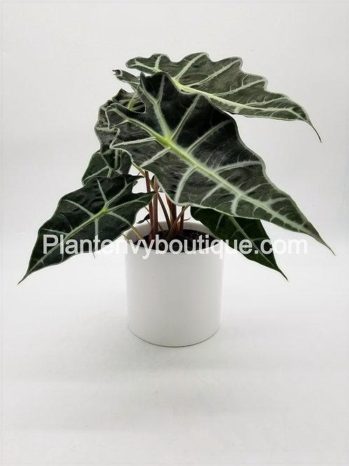 "6"" Alocasia Amazonica Polly"