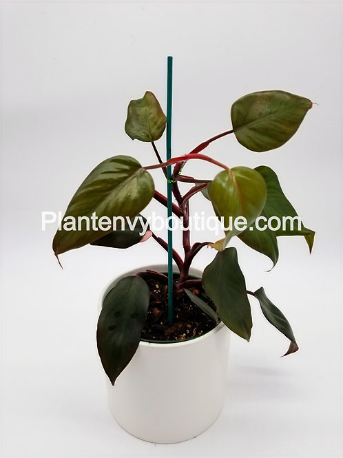 Reverted Philodendron Pink Princess