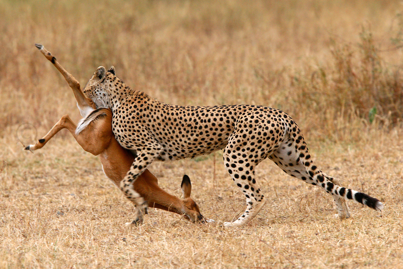 Cheetah & Impala kill in the Serengeti NP, Tanzania