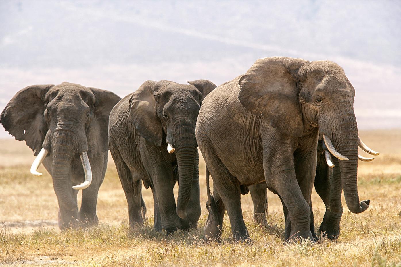 Bull Elephants in Ngorongoro Crater, Tanzania