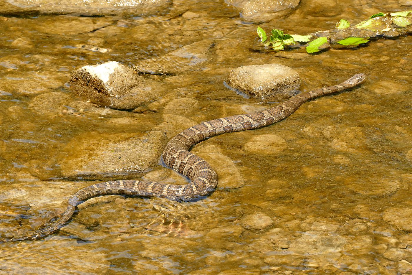 Northern Water Snake in Ohio, USA