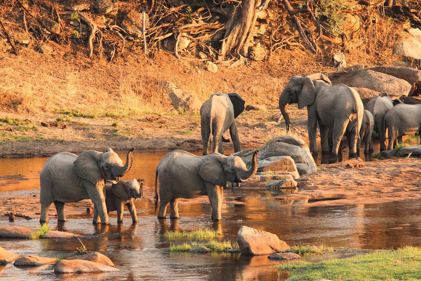 Breeding herd in Ruha NP, Tanzania