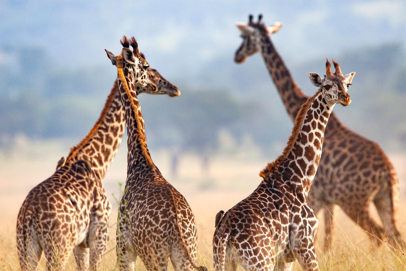 Masai Giraffe in the Serengeti NP, Tanzania