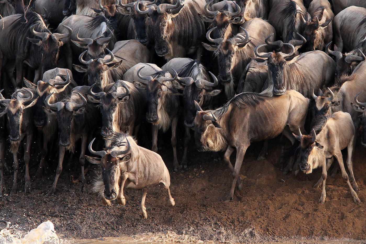 White-bearded Wildebeest crossing the Mara River, Tanzania