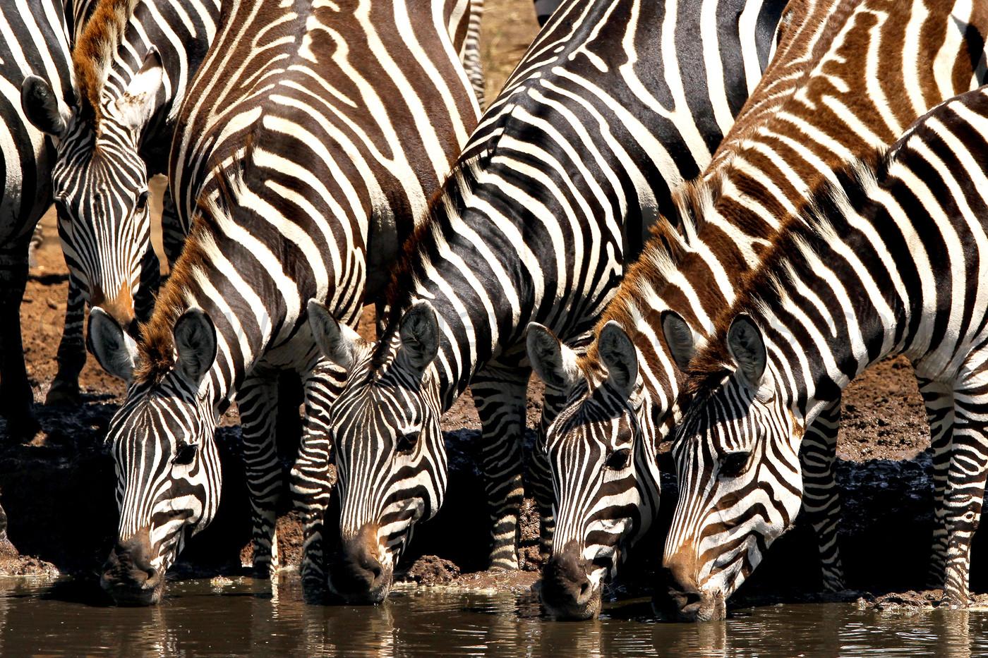 Plains Zebra in the Serengeti NP, Tanzania