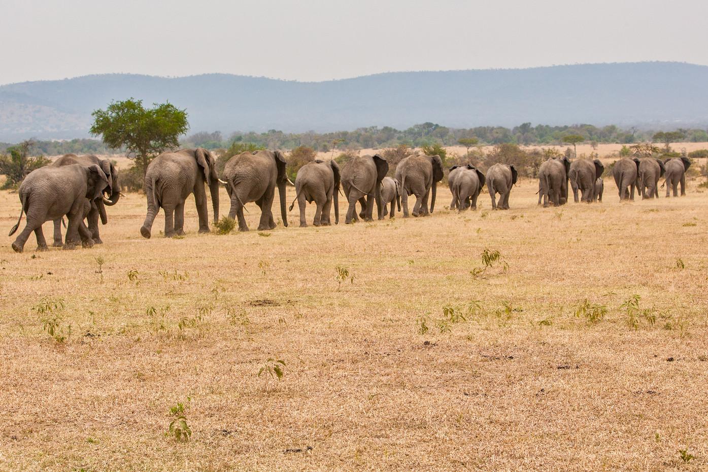 Elephant herd in the Serengeti NP, Tanzania