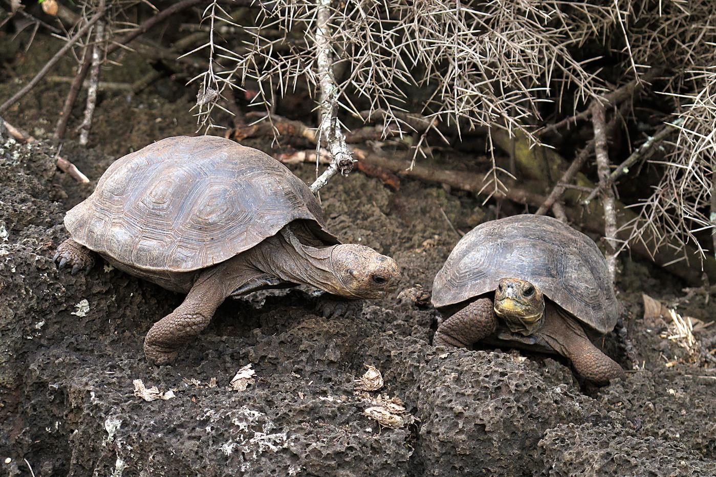 Baby Galapagos Tortoises on Santa Cruz Island, Equador
