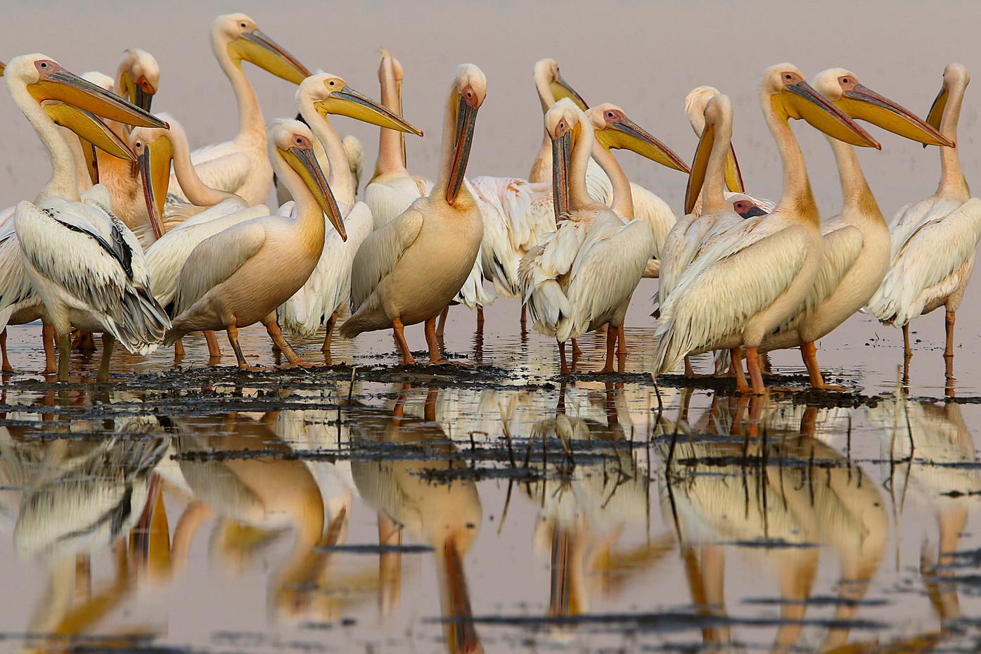 Great White Pelicans in Manyara NP, Tanzania