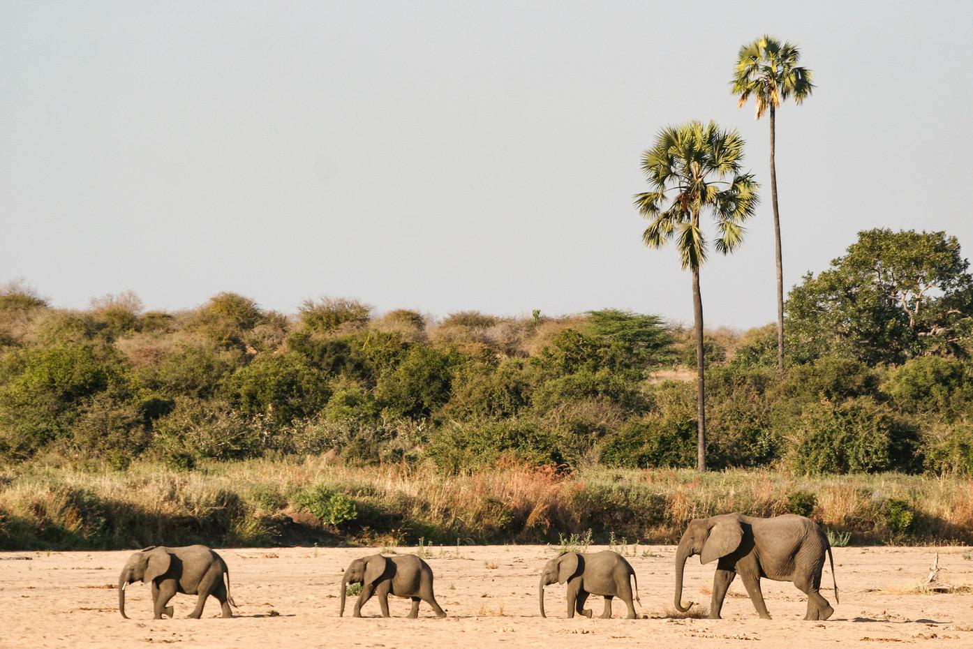 Elephants in Ruaha NP, Tanzania