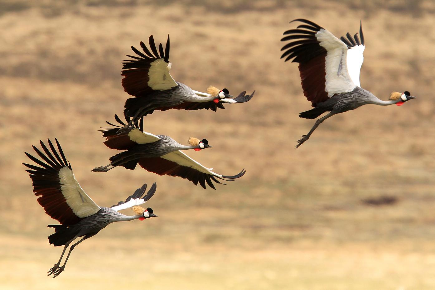 Crowned Cranes in Ngorongoro Crater, Tanzania