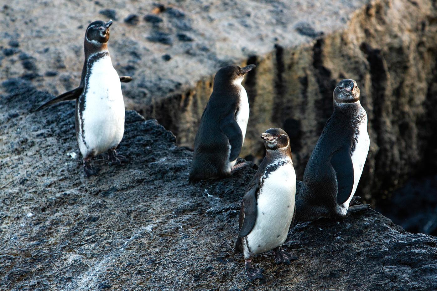Galapagos Penguins in the Galapagos Islands, Equador