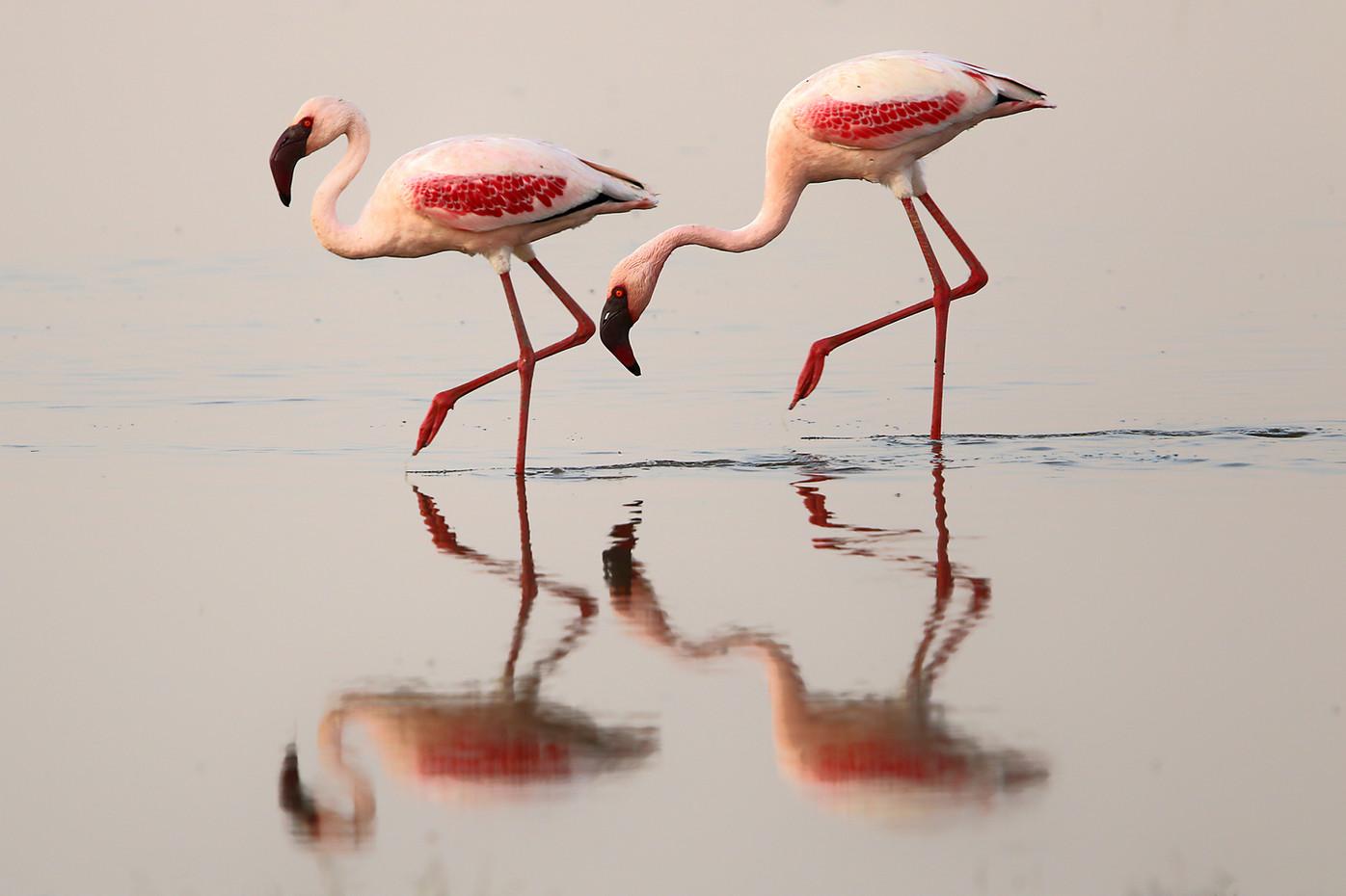 Greater Flamingos in Lake Manyara, Tanzania