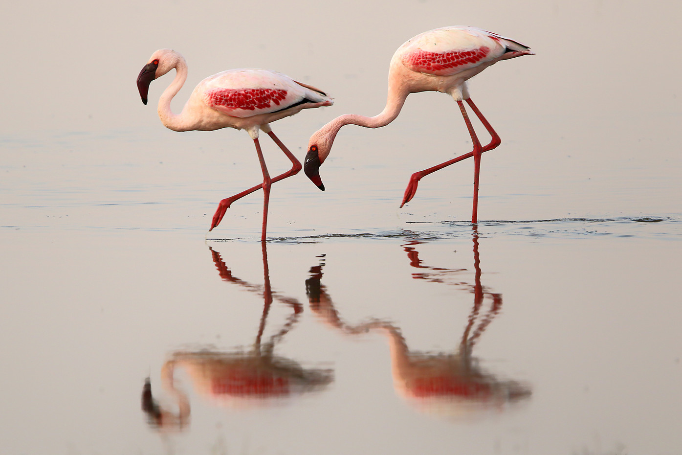 Greater Flamingos in Lake Manyara, Tanzania