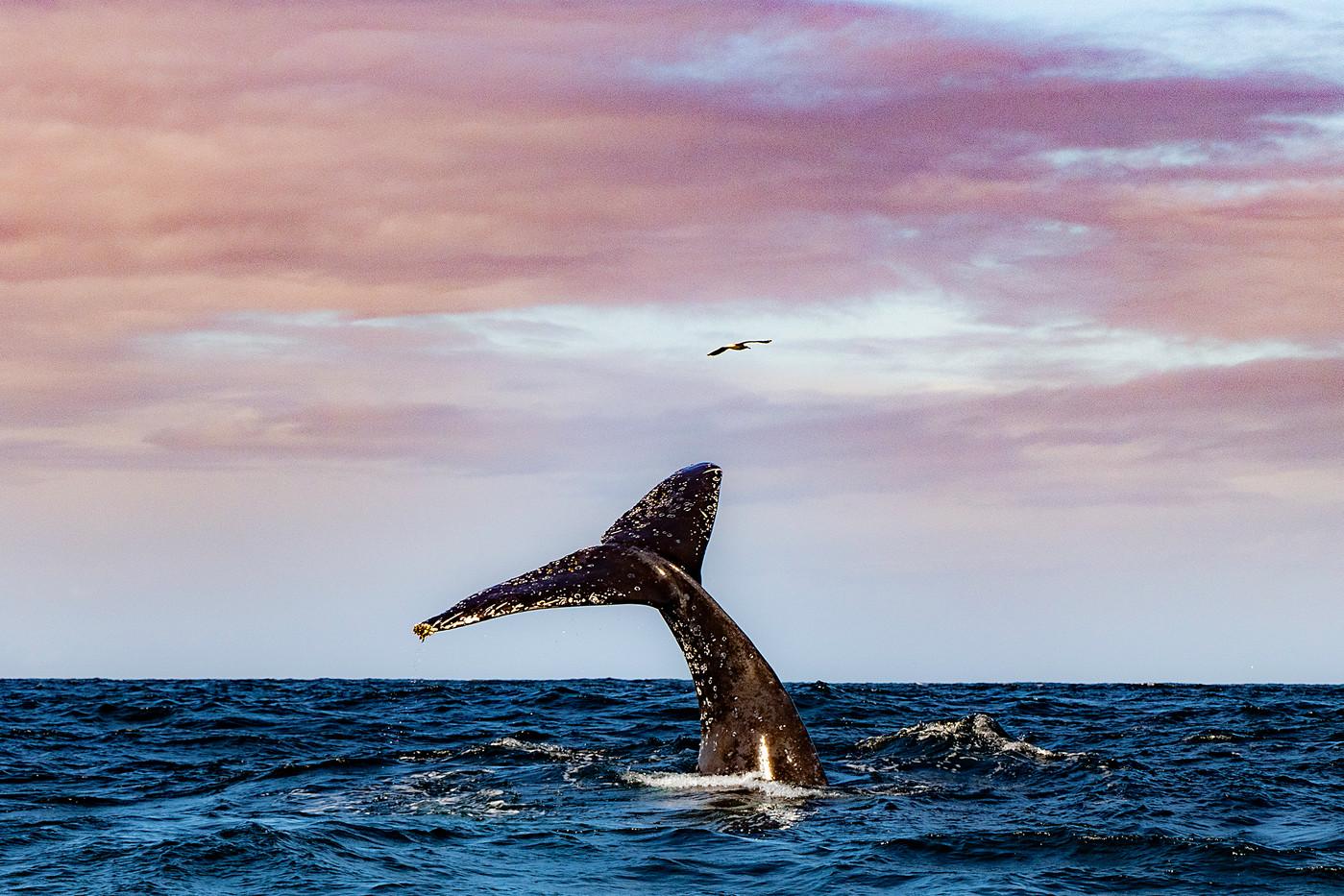 Humpback Whale off the the Gold Coast, Australia