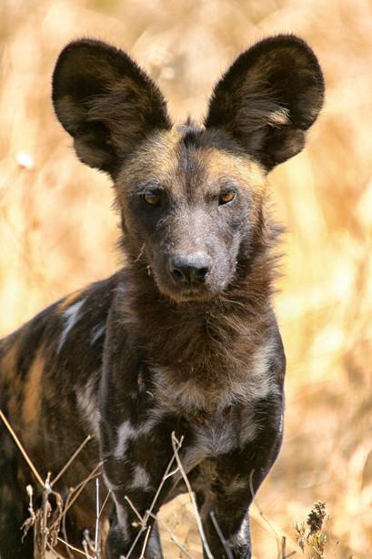 African Wild Dog in Ugalla Game Reserve, Tanzania