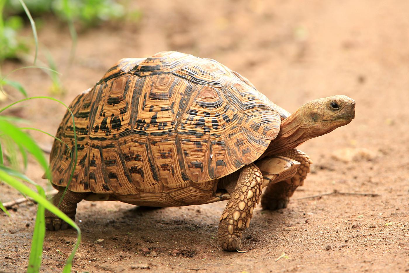 Leopard Tortoise in Tarangire NP, Tanzania
