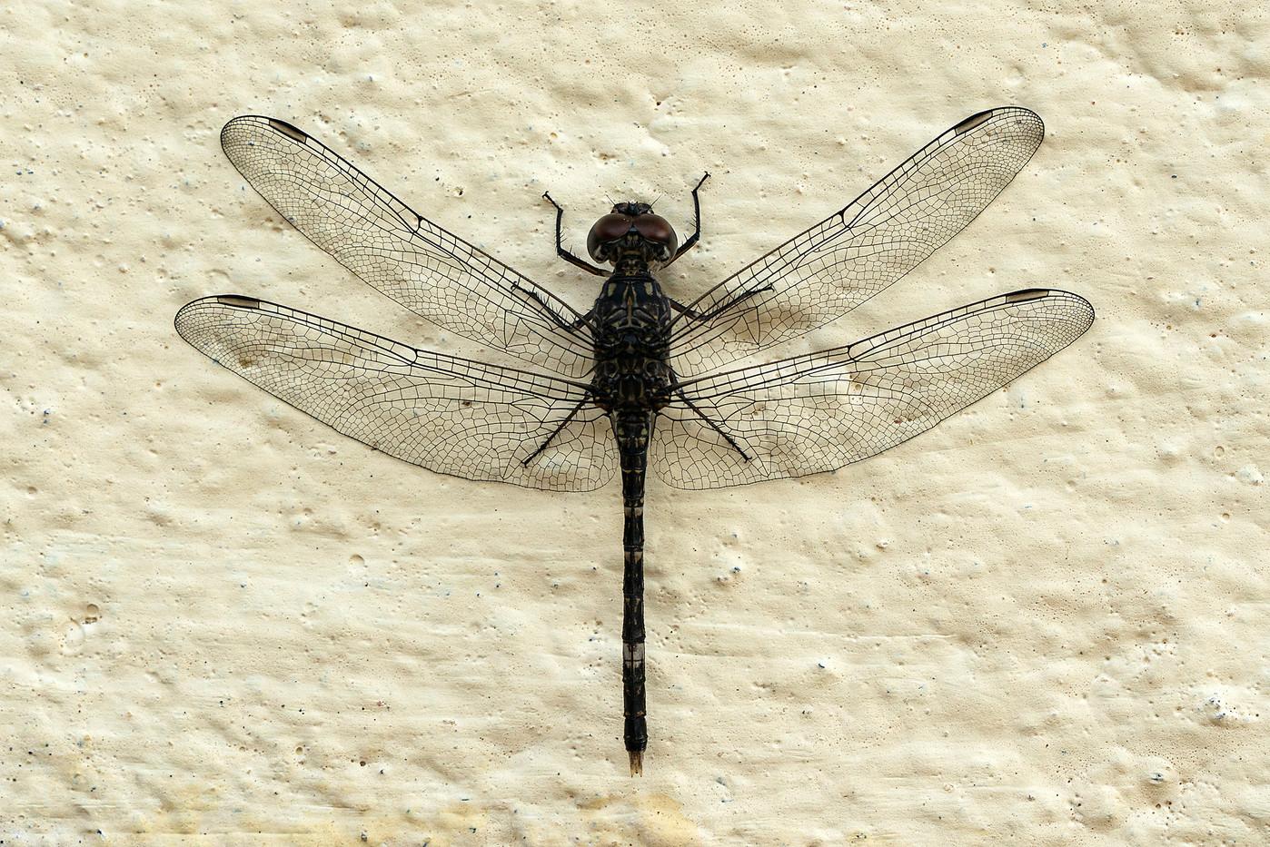 Dragonfly in Pangani, Tanzania