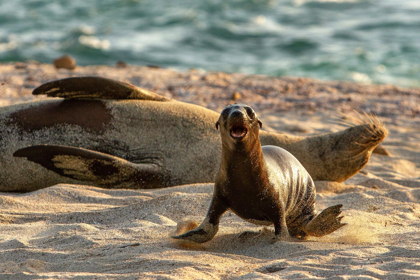 Galapagos Sea Lion pup in the Galapagos Islands, Equador