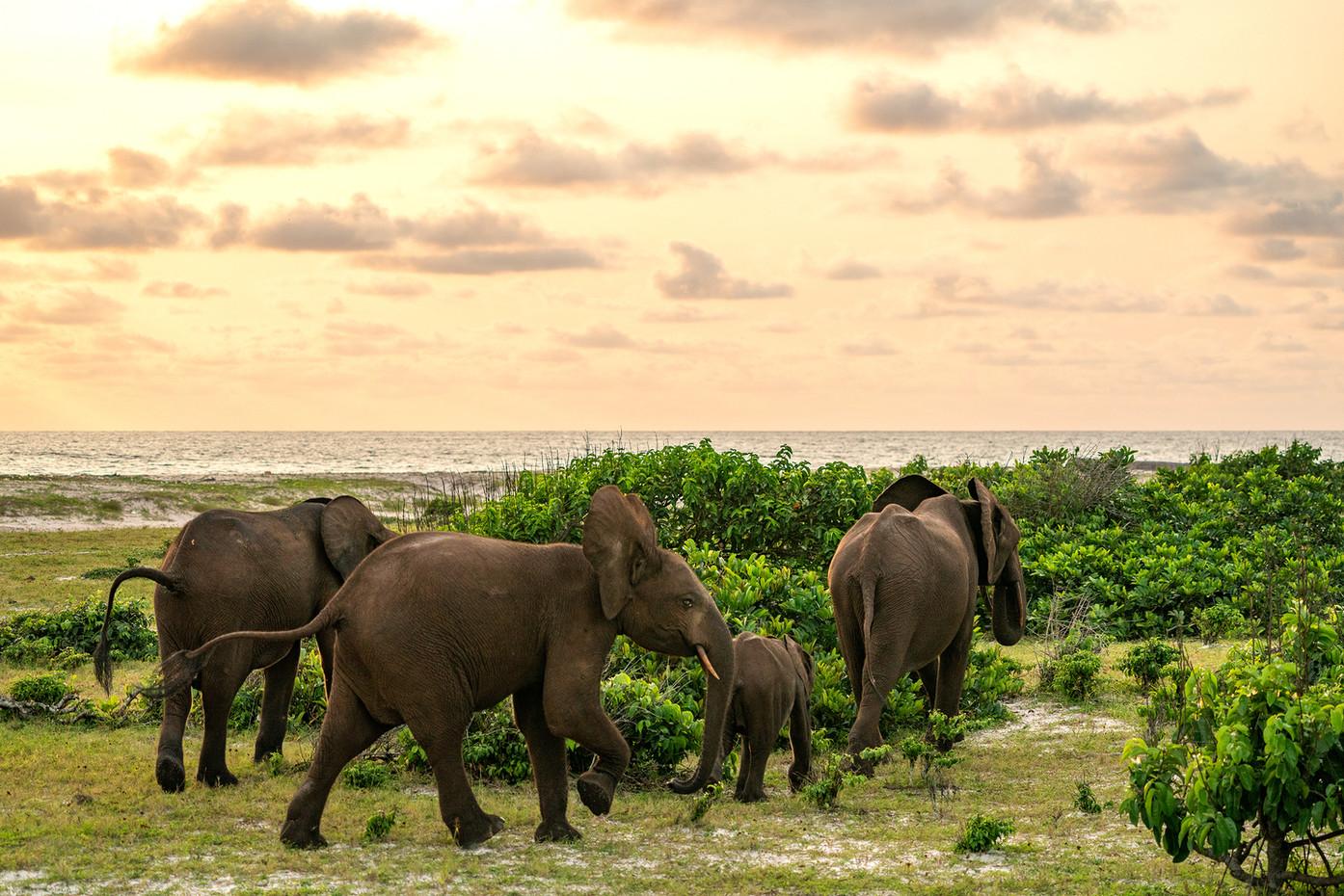 Forest Elephants in Luango NP, Gabon