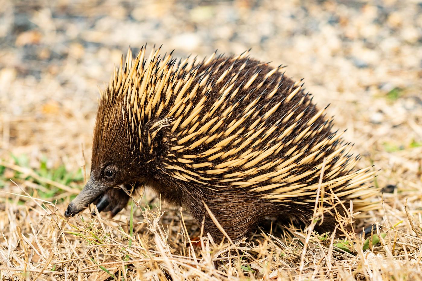 Echidna in Narooma, Australia