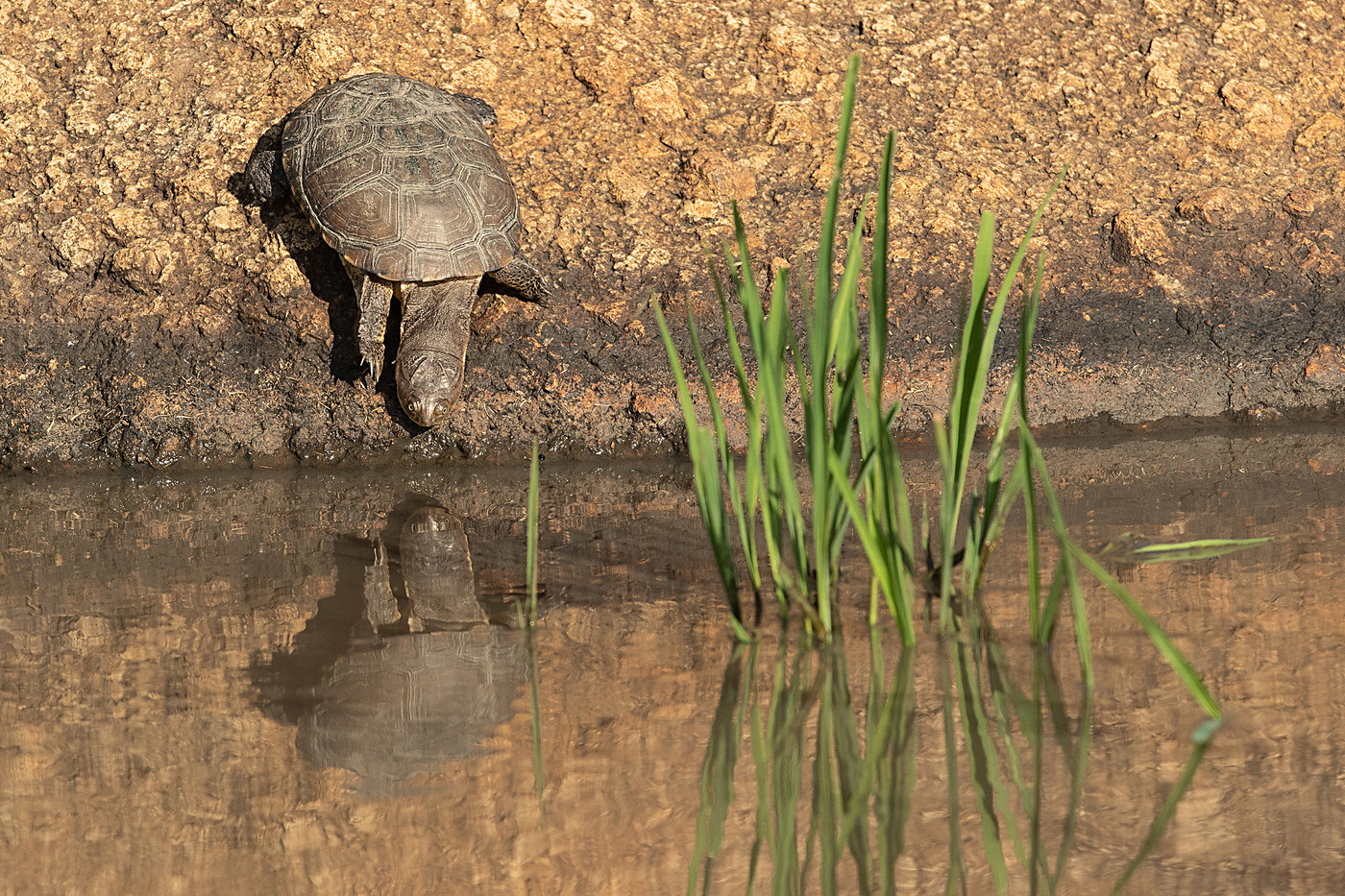 Helmeted Terrapin in the Serengeti NP, Tanzania