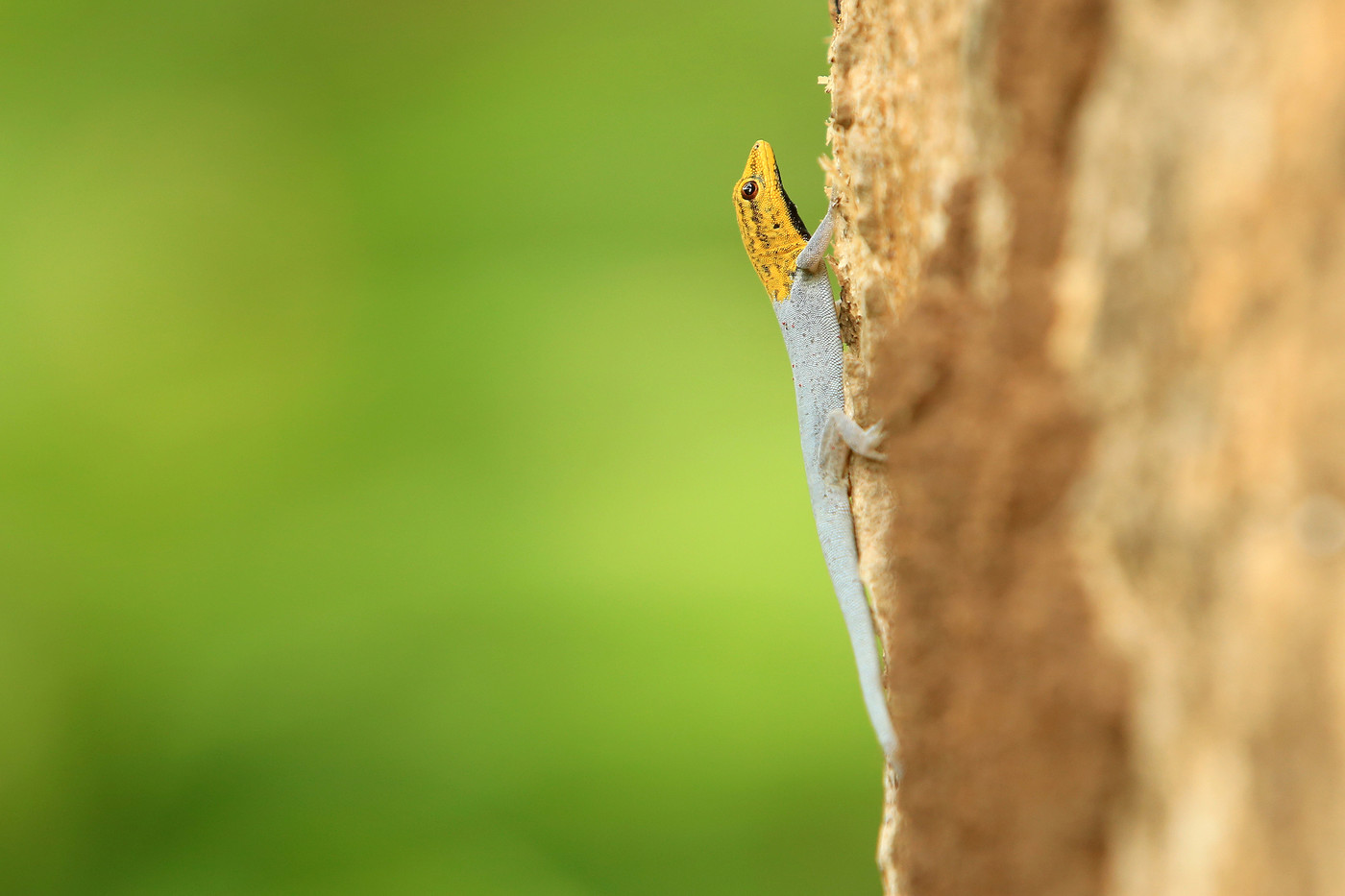 Yellow-headed Dwarf Gecko in Pangani, Tanzania