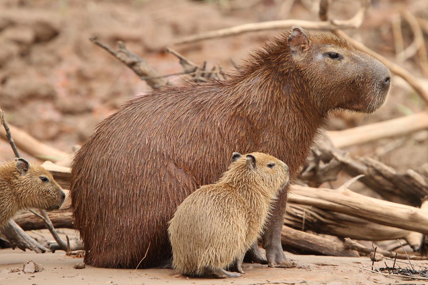 Capybara & pup in the Amazon basin, Peru