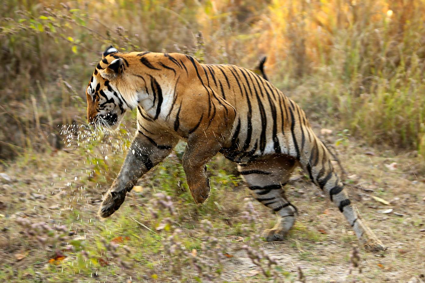 Bengal Tiger in Khana NP, India