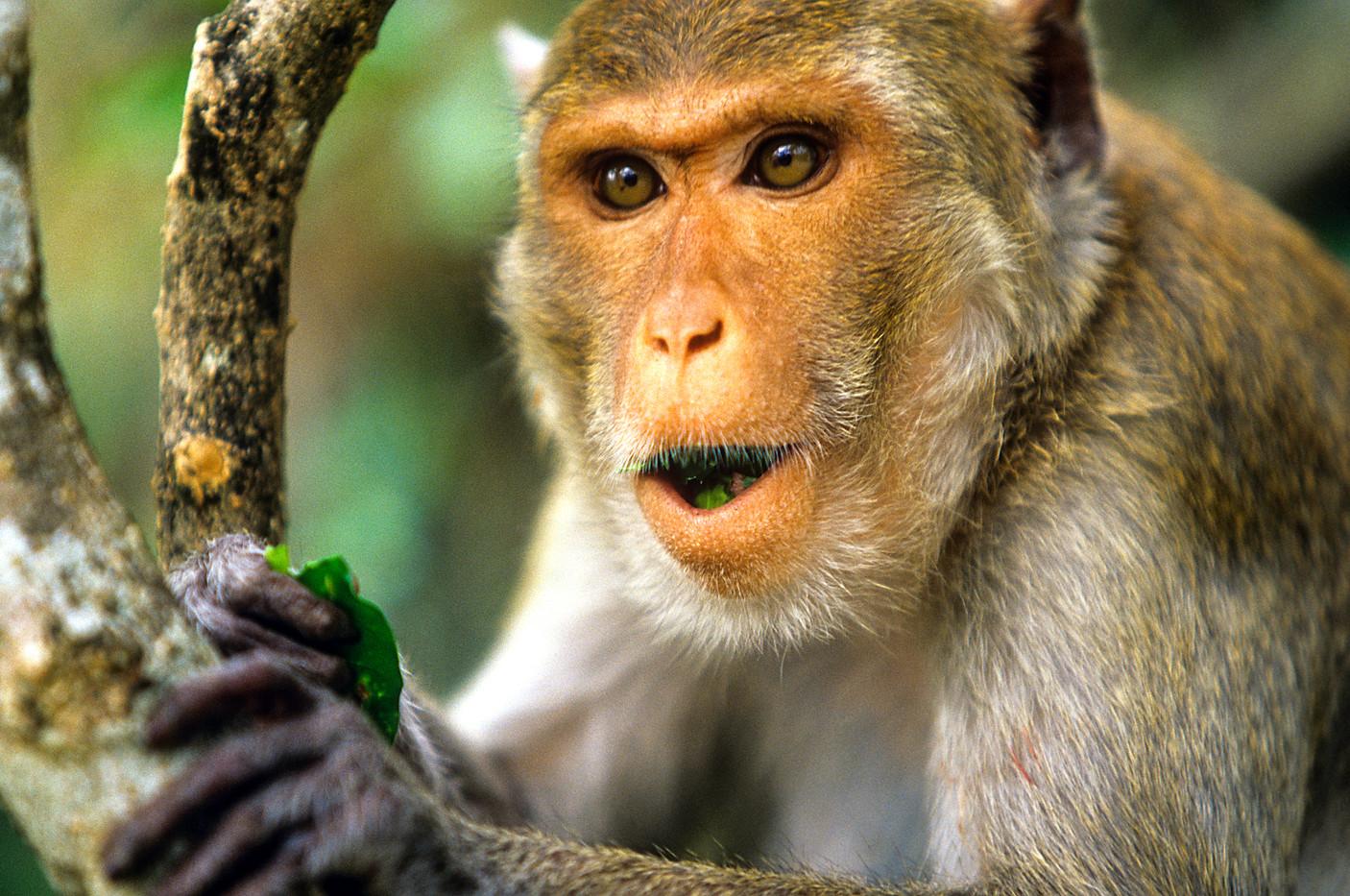 Rhesus Macaque in Mawlamyine, Myanmar