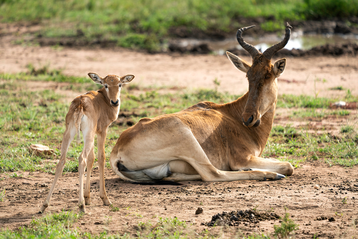 Coke's Hartebeest & calf in the Serengeti NP, Tanzania