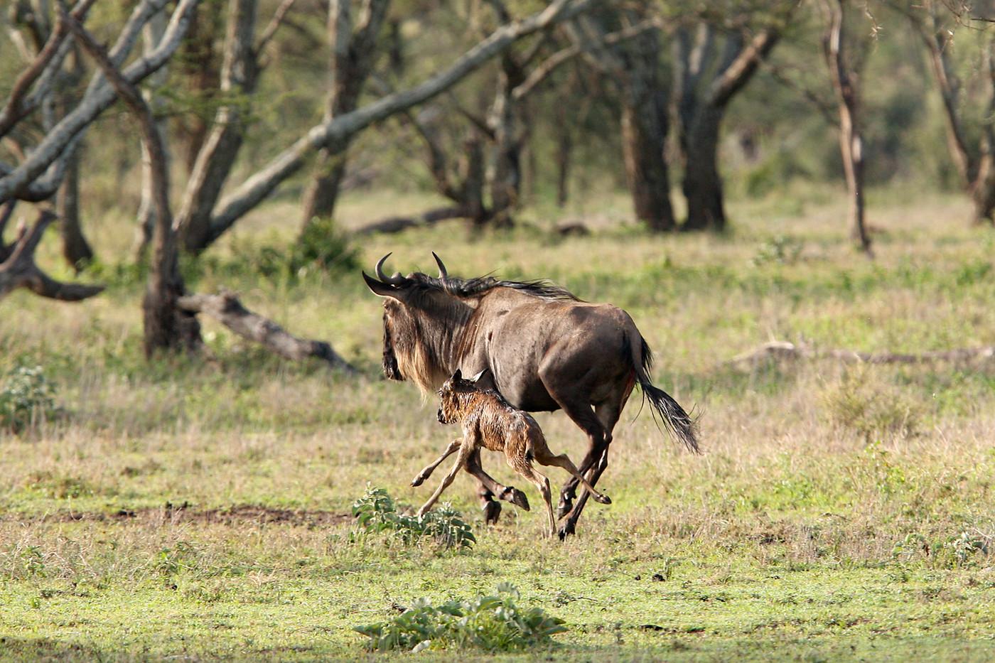 Newborn Wildebeest & foal in Maswa Game Reserve, Tanzania