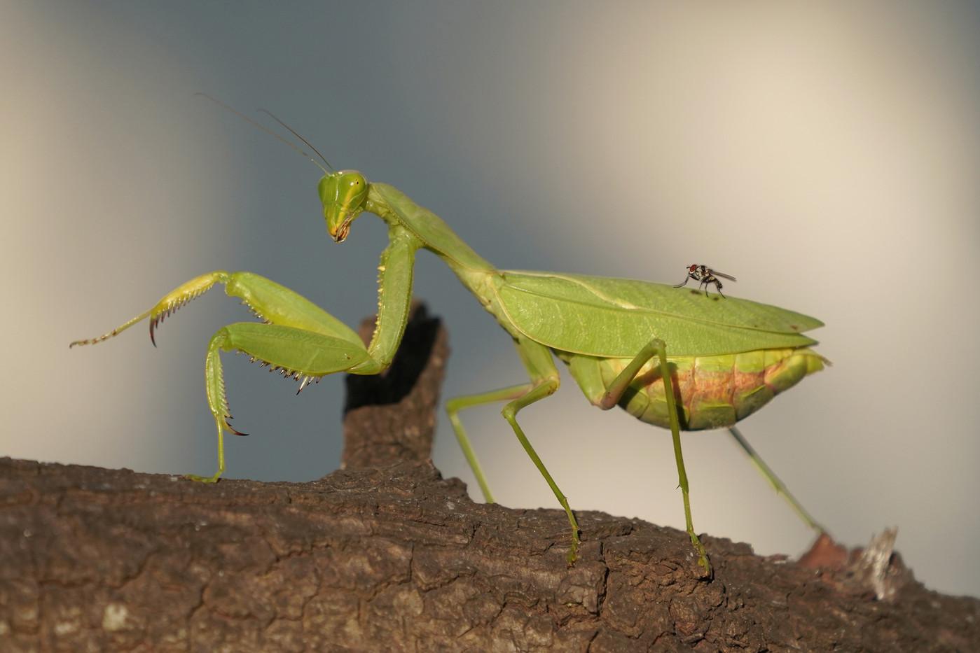 Gravid Praying Mantis & fly in Arusha, Tanzania