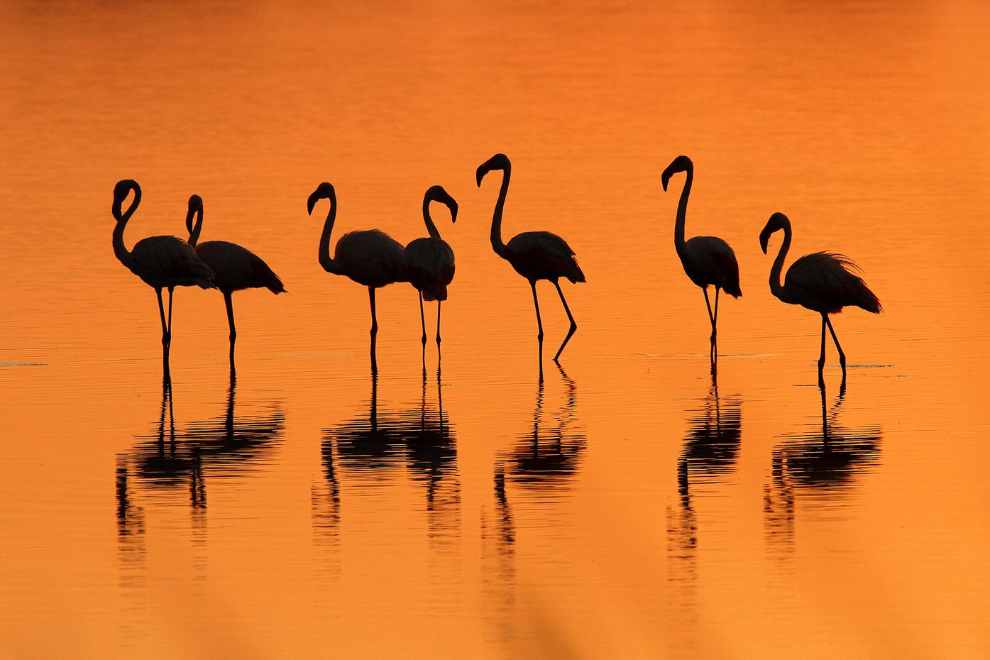 Greater Famingos in Lake Masek, Tanzania