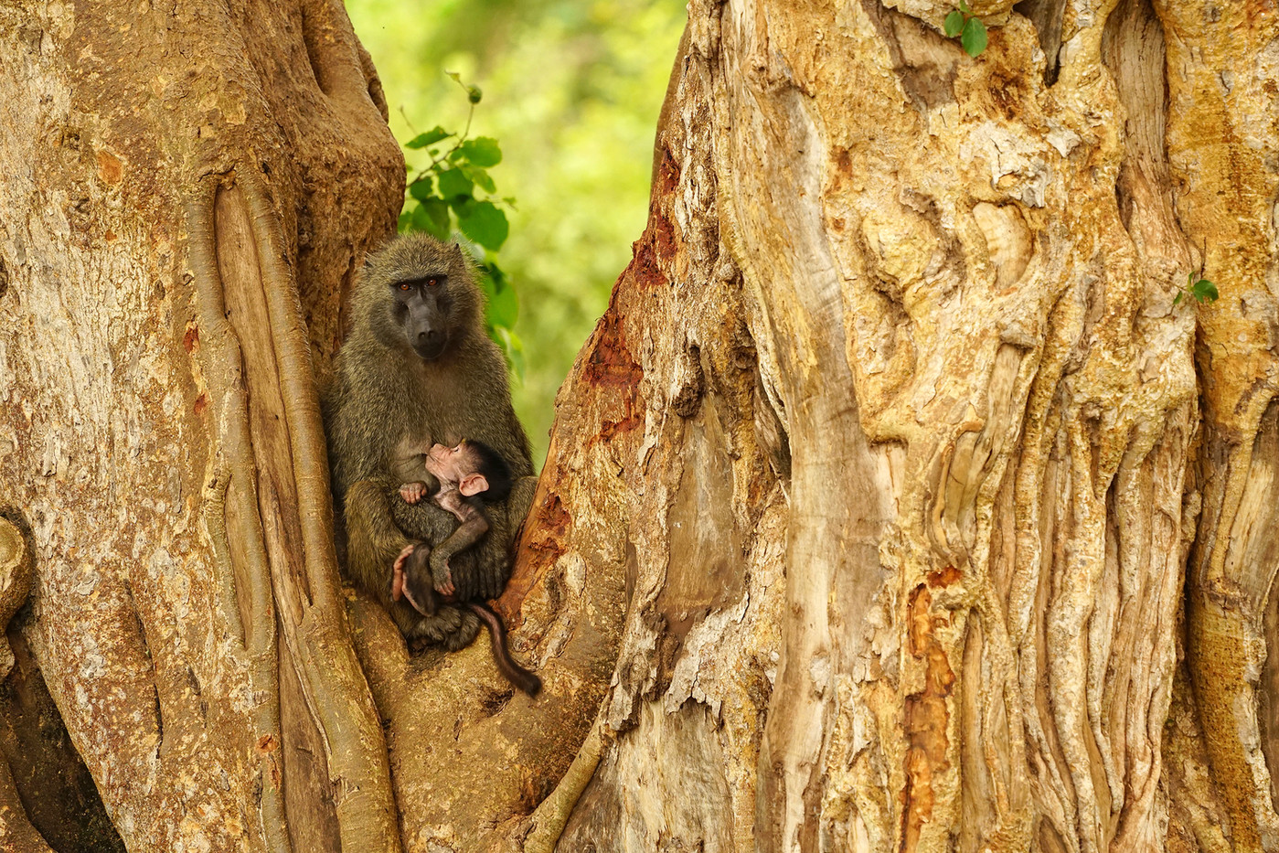 Olive Baboon & baby in Manyara NP, Tanzania