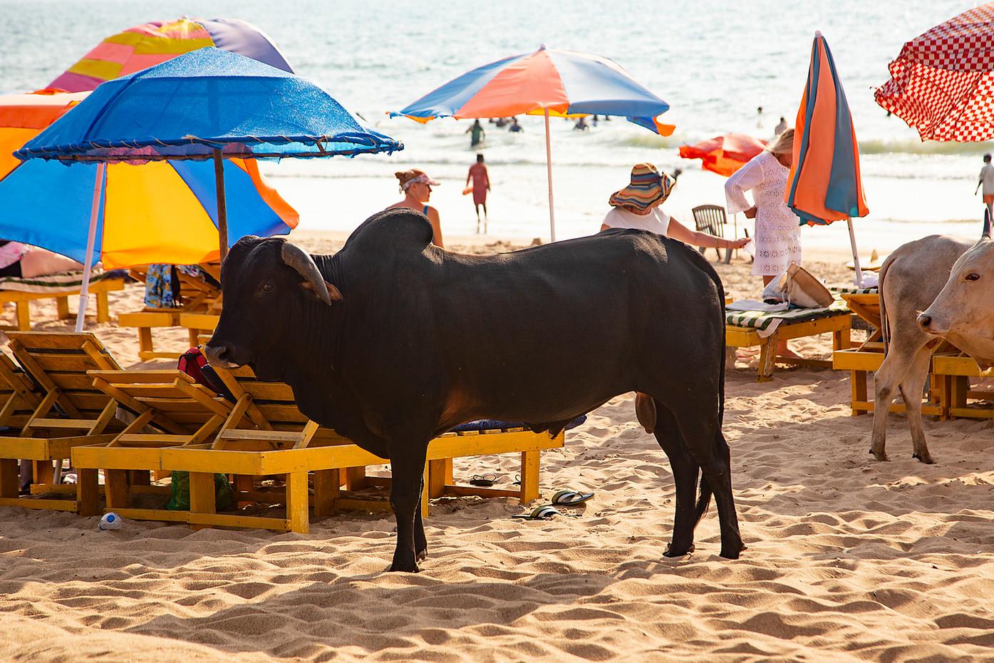 Cows on a beach in Goa, India