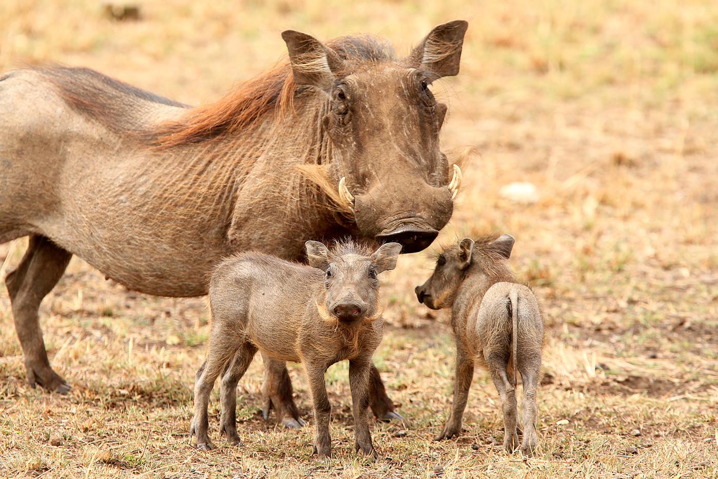 Warthog & piglets in the Serengeti NP, Tanzania