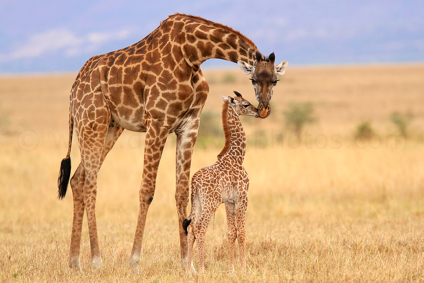 Masai Giraffe & newborn calf in the Grumeti Reserve, Tanzania