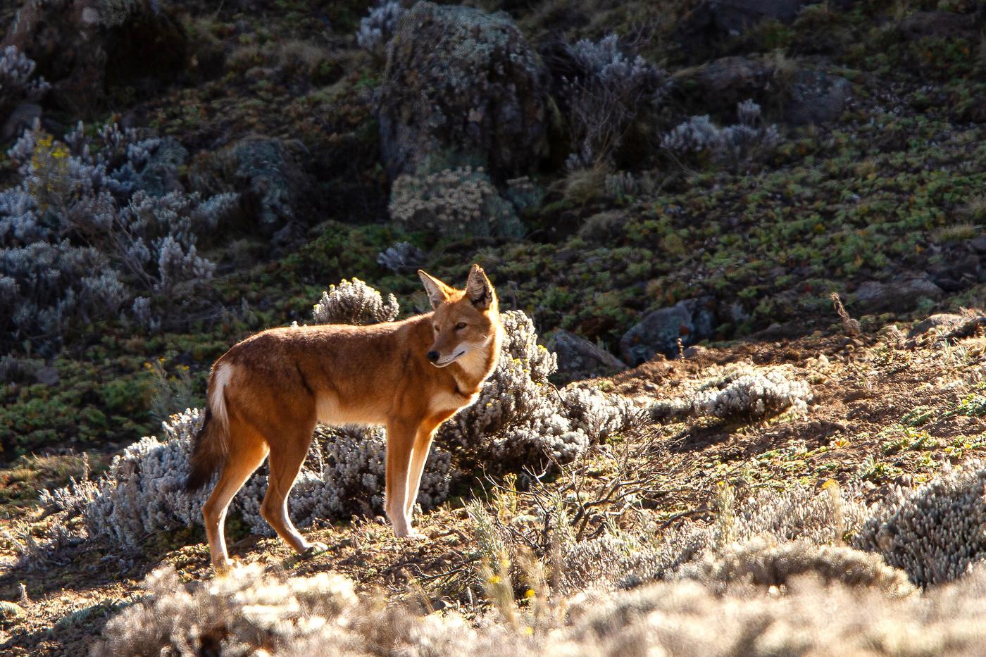Ethiopian Wolf in the Bale Mountains NP, Ethiopia