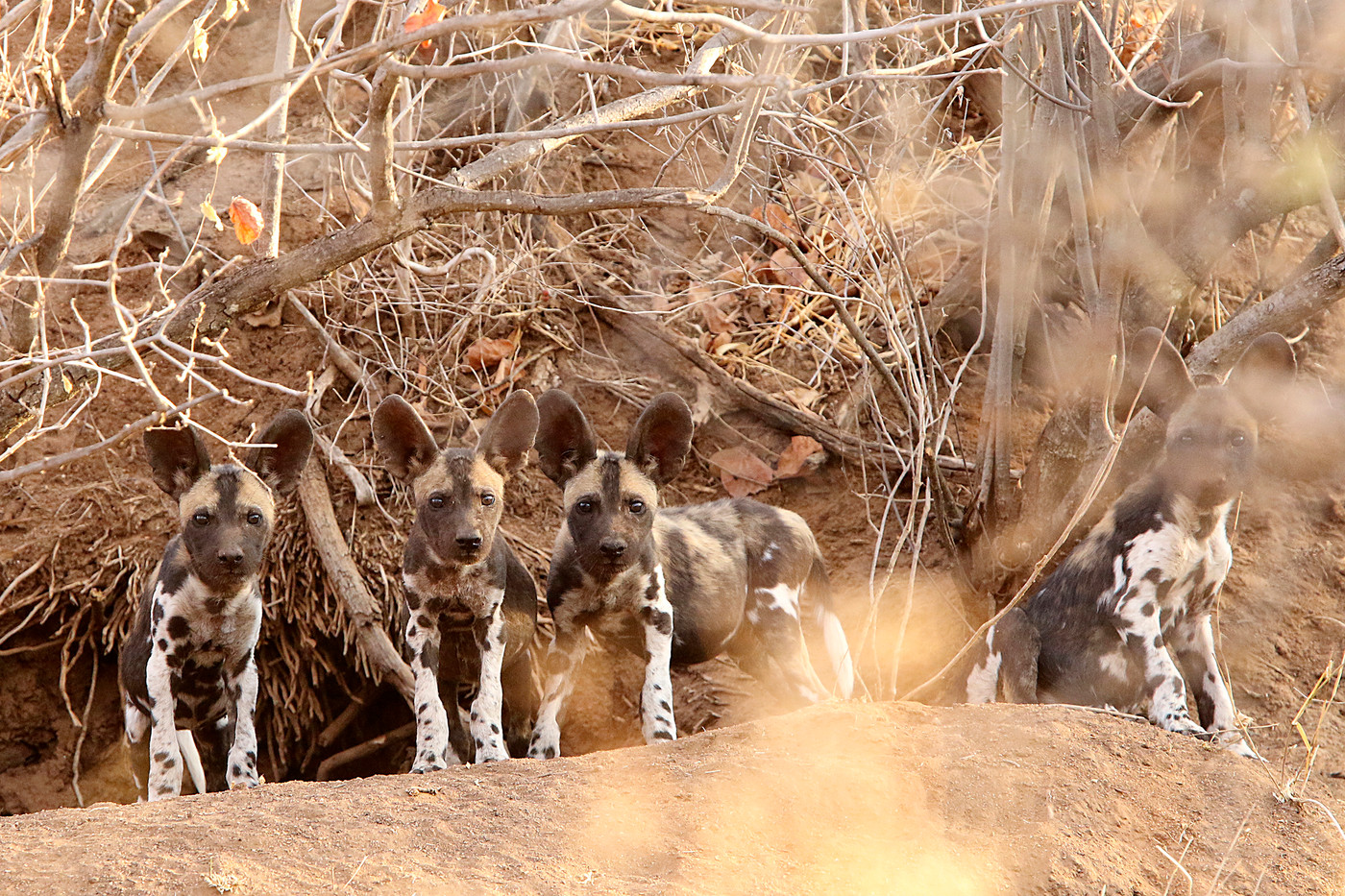 Wild Dog pups in Mwiba Reserve, Tanzania
