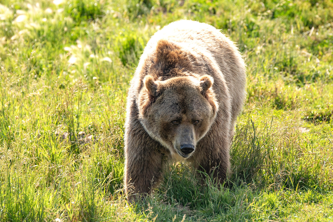 Grizzly Bear in Montana, USA