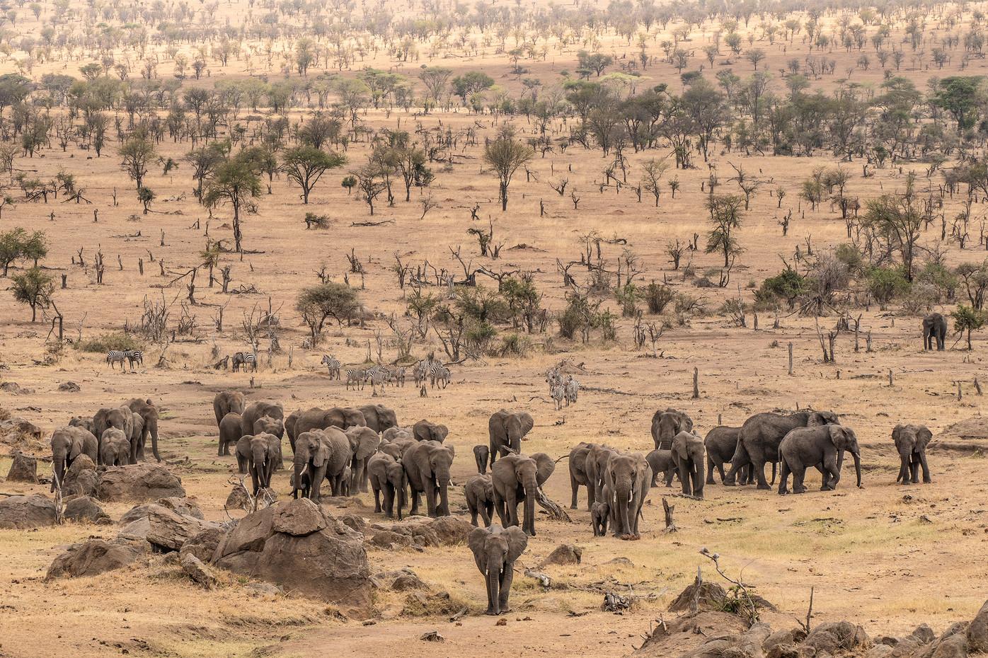 Elephant herds in the Serengeti NP, Tanzania
