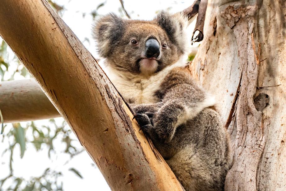 Koala on Kangaroo Island, Australia